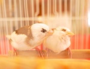 2匹で体を寄せ合う文鳥。たまりません!